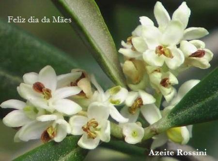 flor oliv dia das mães